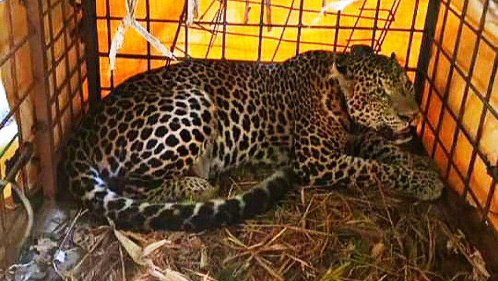 Macan Tutul Si Abah Dirawat di Kebun Binatang Bandung