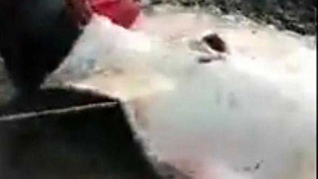 Ikan Pari Raksasa Langka Mati, Ungkap Kandungan Belerang di Sungai Musi