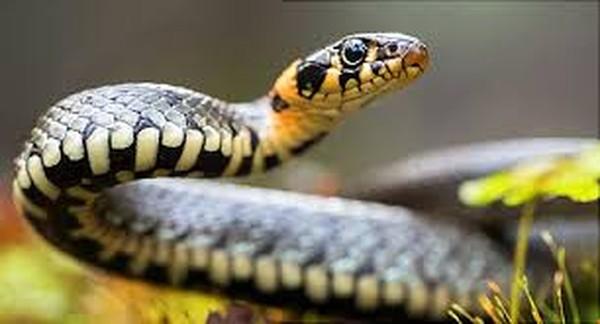 Walau berukuran kecil, ular mampu makan banyak hingga perutnya meledak lho. Dia juga mampu tidak makan 5 hari untuk mencerna makanan yang mereka makan sebelumnya. (: iStock)