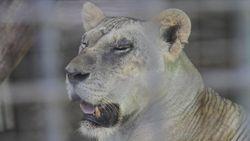 Siasat Pengelola Kebun Binatang Agar Rusa Tak Dikorbankan ke Macan