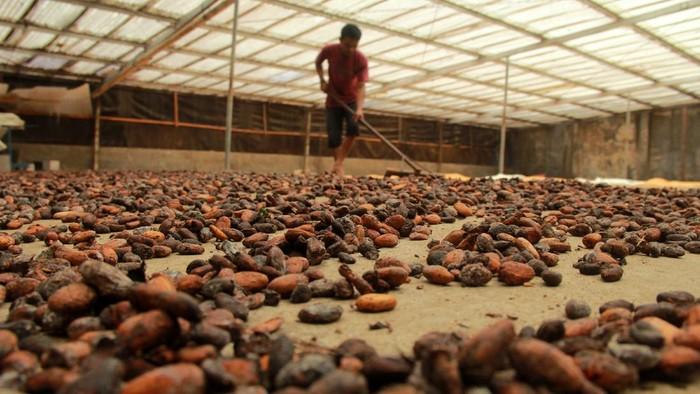 Pekerja menjemur biji kakao di Mamuju, Sulawesi Barat, Jumat (26/6/2020). Sejak terjadinya pandemi COVID-19, harga kakao di tingkat pengepul turun dari Rp35 ribu menjadi Rp26 ribu per kilogram. ANTARA FOTO/Akbar Tado/wsj.