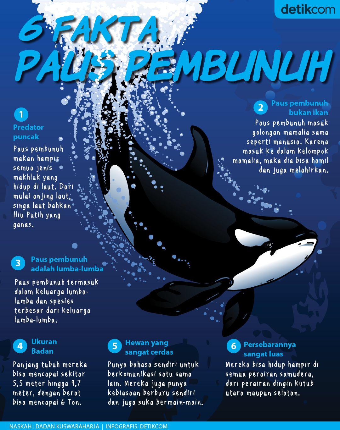 Paus Pembunuh terlihat menampakkan diri di perairan Biak Numfor, Papua beberapa waktu lalu lalu. Berikut 6 fakta tentang paus pembunuh yang viral itu dalam infografis detikTravel.