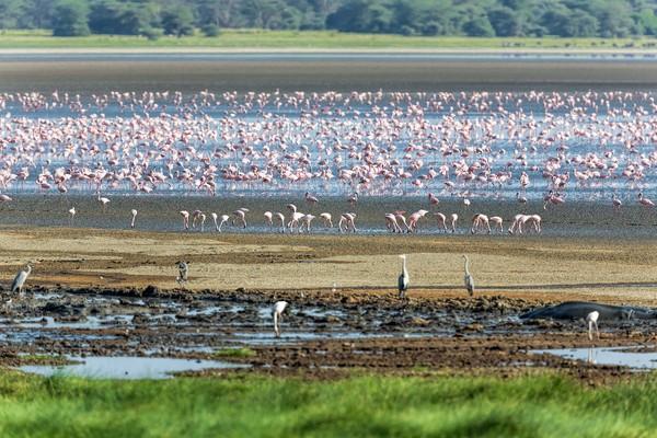 2. Danau ManyaraTanzania dikenal memiliki sejumlah taman konservasi yang kerap dikunjungi wisatawan. Salah satunya Taman Nasional Danau Manyara. Di sana, traveler dapat melihat ribuan flamingo dan kuda nil yang asik mencari makan atau sekadar bersantai. (Foto: iStock)