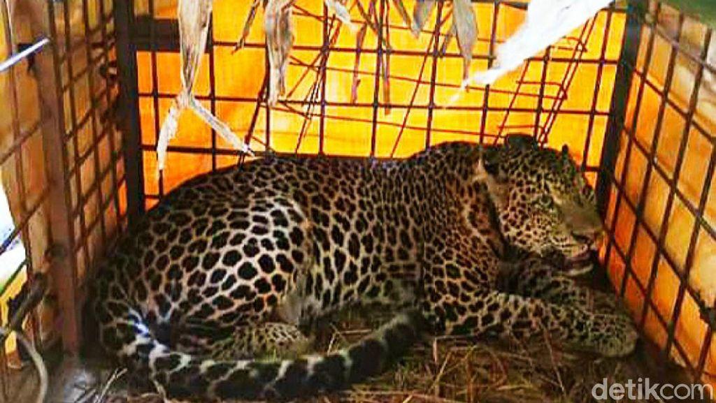 BKSDA Ciamis Segera Lepas Liarkan Macan Tutul yang Terperangkap Warga