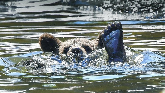 A bear cub cools off in a pond in the bear enclosure at Skansen open air museum and zoo,  as the temperature passed 30 degrees Celsius, in Stockholm, Thursday,  June 25, 2020. (Jonas Ekstromer/TT News Agency via AP)