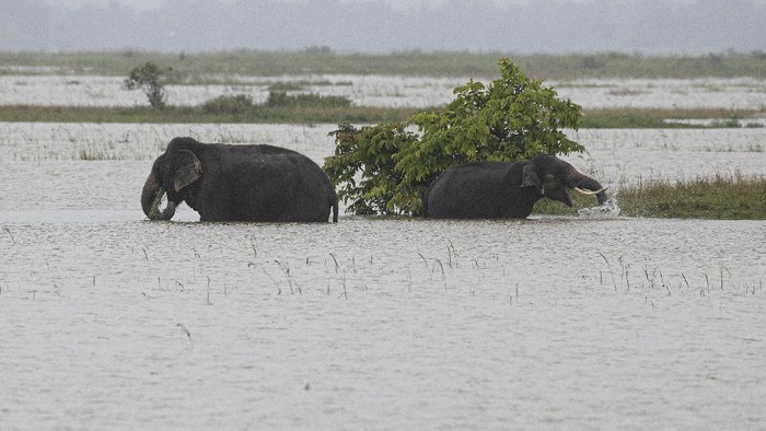 Asiatic water buffalos cross flood waters in Morigaon district of Assam, India, Friday, June 26, 2020. Following incessant rainfall, the Brahmaputra river and its tributaries continued to rise flooding several districts in the state. (AP Photo/Anupam Nath)