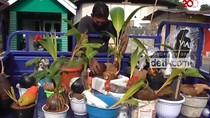 Unik dan Cantik Bonsai Kelapa di Gorontalo