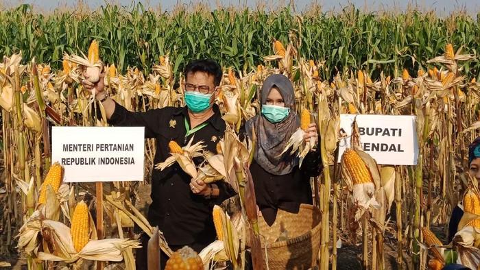 Mentan Syahrul Yasin Limpo penen jagung di Kendal