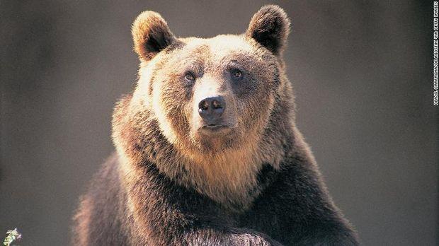 Beruang cokelat Italia