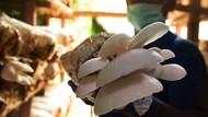 Bisnis Jamur Tiram Tetap Eksis di Tengah Pandemi Corona
