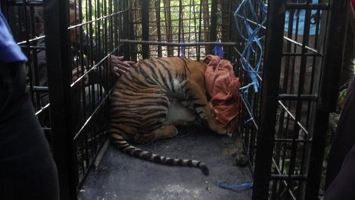 Dokter Hewan Pusat Rehabilitasi Harimau Sumatera Dhamasraya (PRHSD) Saruedi Simamora (kanan) menyuntikan obat bius kepada seekor harimau Sumatra (Panthera tigris sumatrae) di dalam kerangkeng di Jorong Baringin, Nagari Gantung Ciri, Kecamatan Kubung, Kabupaten Solok, Sumatera Barat, Senin (29/6/2020). Satwa yang diberi nama Putra Singgulung dengan panjang sekitar satu meter, umur sekitar satu tahun dan berat 50-60 kilogram ini masuk ke dalam perangkap Badan Konservasi Sumber Daya Alam (BKSDA) Sumatera Barat yang diletakkan dalam Area Penggunaan Lain (APL) karena meresahkan warga yang beraktivitas di lahan pertanian tersebut. ANTARA FOTO/Muhammad Arif Pribadi/wsj.