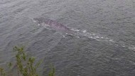 Kecele, Foto Dikira Monster Loch Ness Ternyata Lele