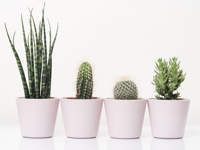 Family of cactus plants against white background