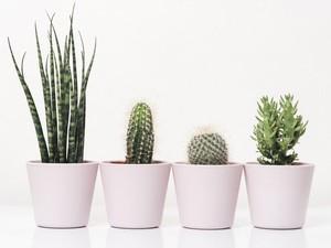 Ini Cara Merawat Kaktus di Rumah yang Penting bagi Pemula