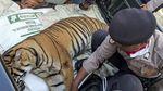 Miris, Harimau di Aceh Diduga Mati Akibat Racun
