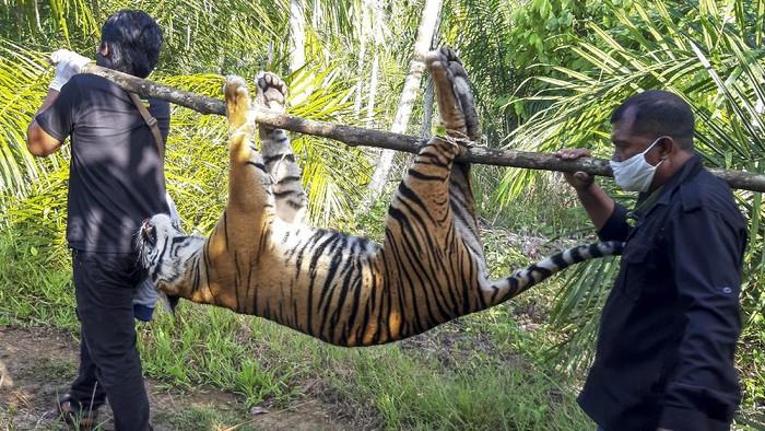 Seekor harimau Sumatera ditemukan mati di Kecamatan Trumon, Aceh. Harimau itu diduga mati akibat diracun.