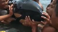 Paus Pembunuh Disebut Lumba-lumba, Diciumin Emak-emak di Sulut