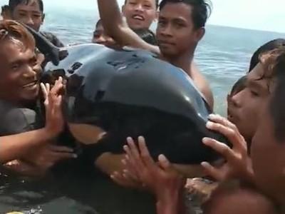 Ada Bayi Orca Terdampar di Sulut, Kok Bisa?
