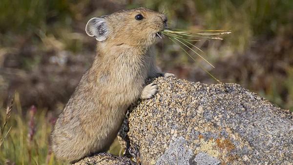 Walau fisiknya kecil seperti kelinci, tapi pika tak memiliki ekor serta kuping yang lebih pendek. Berat badannya pun hanya 140 gram saja, jadi sangat ringan (NPS.Gov)