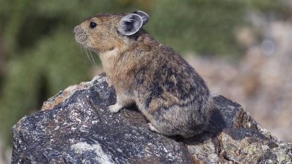 Adalah pika atau pikas (Ochotona), sebuah mamalia lucu yang tinggal di sejumlah tempat di Asia dan Amerika Utara. Pika juga merupakan saudara dekat dari kelinci dan punya banyak kemiripan (NPS.Gov)