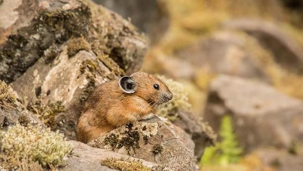 Apabila ingin melihatnya, Pika banyak ditemui di Pegunungan Rocky atau Taman Nasional Yellowstone di Amerika. Tak sedikit juga kebun binatang di AS yang memiliki mamalia unik ini (NPS.Gov)