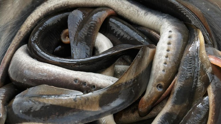 Ikan Vampir Sea Lamprey penghisap darah ikan lain