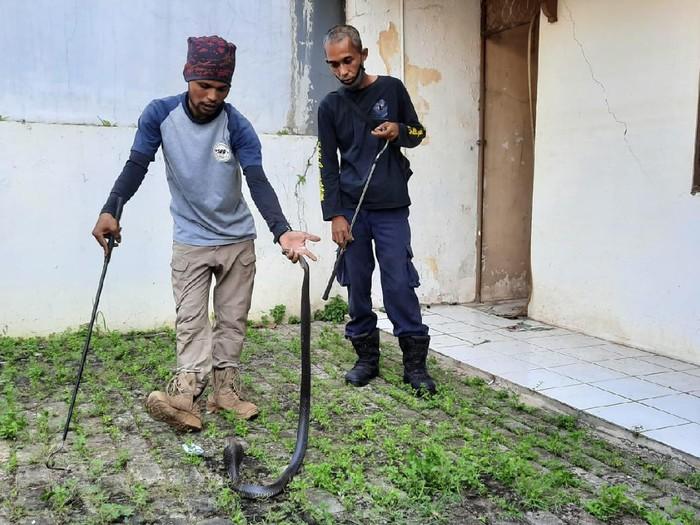 Kobra Jawa ditemukan di pekarangan rumah warga Bekasi