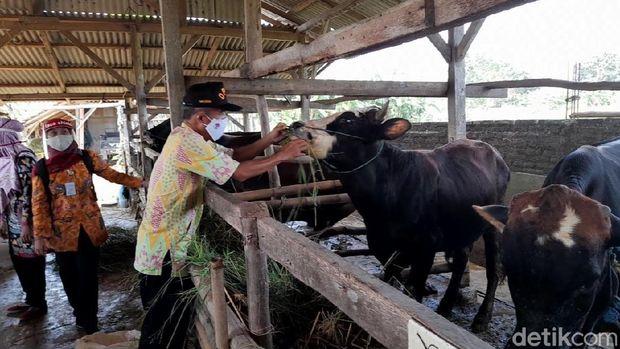 Pemeriksaan hewan kurban di Brebes, Selasa (30/6/2020).