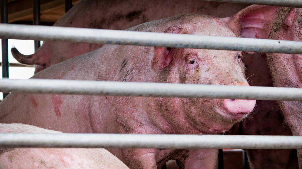 Virus Corona Belum Usai, Ilmuwan China Temukan Virus Baru dari Babi