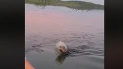 Miris! Saat Kepala Beruang terjepit Botol Plastik di Danau