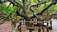 Kisah Pohon Jambu Mede Terbesar di Dunia, Rimbun Seperti Hutan!