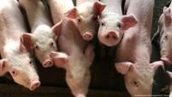 10 Persen Peternak Babi di China Telah Terinfeksi Virus Flu Babi G4
