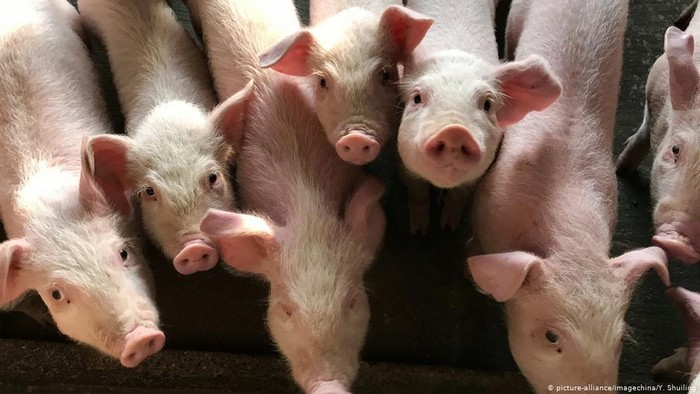 Riset di Cina Peringatkan Kandidat Virus Pandemi Baru dari Babi