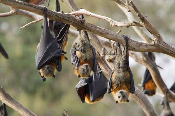 Kelelawar mempunyai jam tidur, atau lebih tepatnya melakukan hibernasi sih hingga 19 jam perharinya (Getty Images/iStockphoto/CraigRJD)