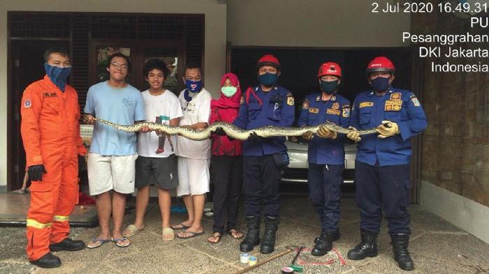 Damkar Jaksel Evakuasi Ular Sanca yang Menyumbat di Saluran Air Rumah Warga