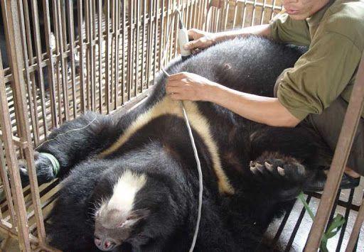 Empedu Beruang