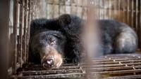Selain Kucing Hitam, Empedu Beruang Juga Jadi Obat Populer Virus Corona