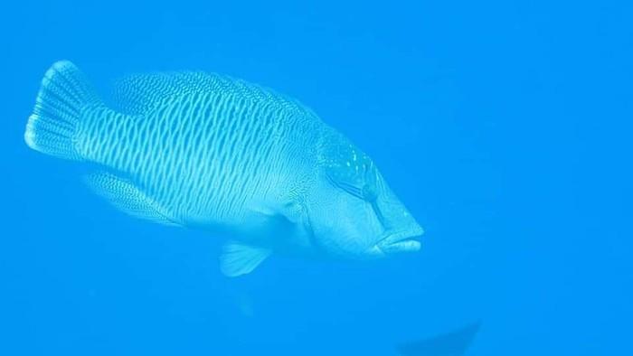 Ikan Napoleon muncul lagi di perairan Sumbar.