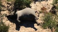 Ratusan Gajah Mati Misterius di Botswana Disebabkan Keracunan Bakteri