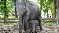 Gajah Ngatini bersama bayinya, Gajah Damar