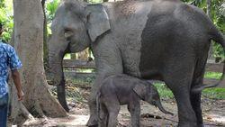 Gajah Ngatini di Riau Lahirkan Anak Seberat 50 Kg, Diberi Nama Damar