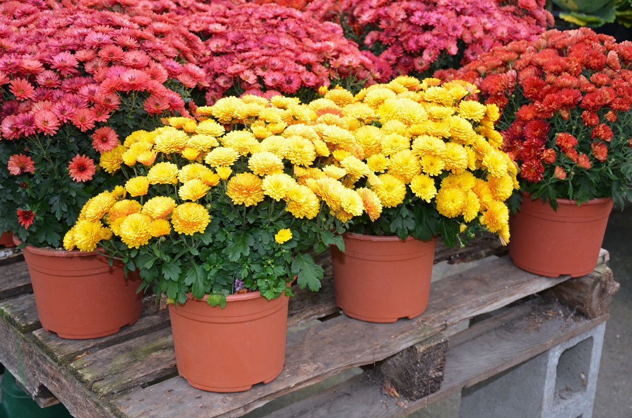 Colorful autumn chrysanthemum flowers on display at farm market
