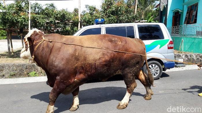 Penampakan sapi jumbo seberat 1,2 ton di Boyolali