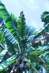Pulau ini juga punya pohon pisang unik yang tangkai buah tegak lurus ke langit. Cuma ada di Pulau Papua! (Hari Suroto/Istimewa)