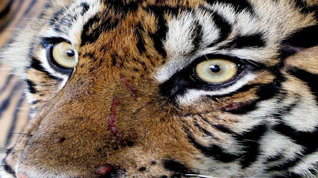 Sebulan 9 Ekor Sapi di Langkat Dimangsa Si Raja Hutan