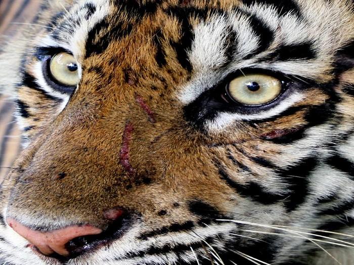 Harimau Sumatra liar yang diberi nama IDA berada di dalam kerangkeng di kawasan Conservation Respon Unit (CRU) Desa Naca, Trumon Tengah, Aceh Selatan, Provinsi Aceh.