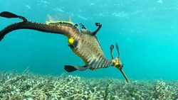 Melihat Naga Laut Baperan di Jakarta Aquarium
