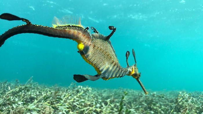 Naga laut di Jakarta Aquarium.
