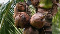 Supermarket Inggris Tarik Produk Kelapa yang Dipetik Monyet