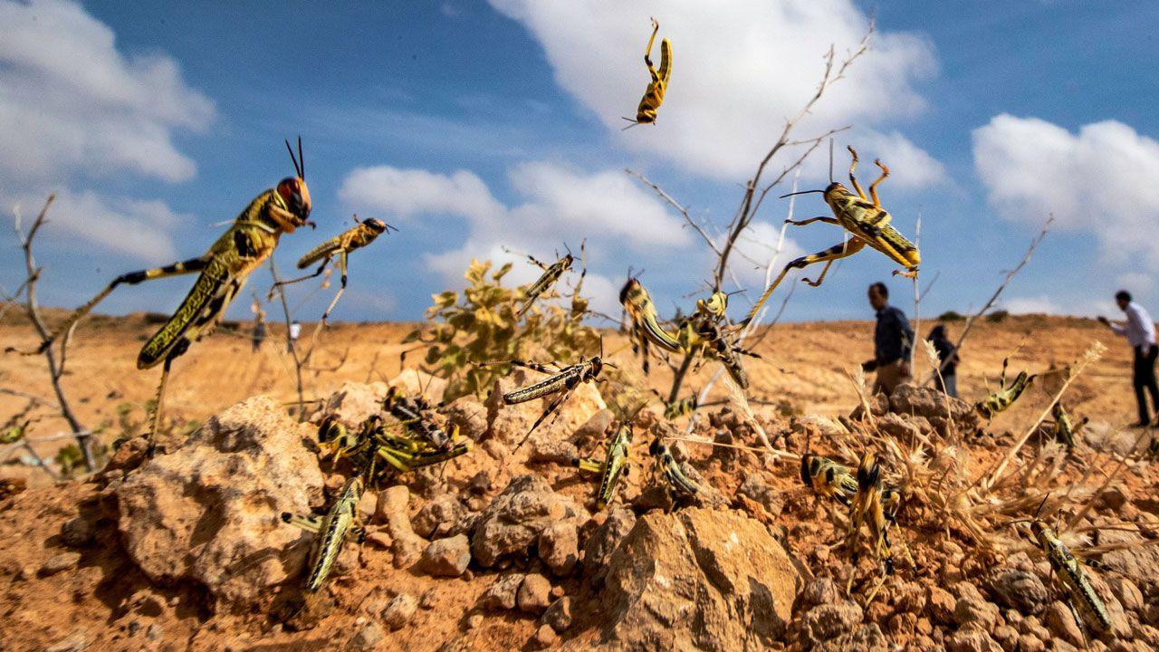 Wabah Belalang Afrika Timur